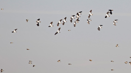 008 Lapwings.jpg