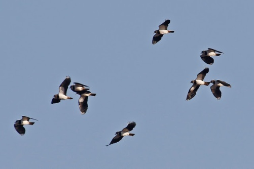 010 Lapwings 2.jpg
