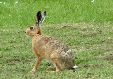 b134 hare.jpg