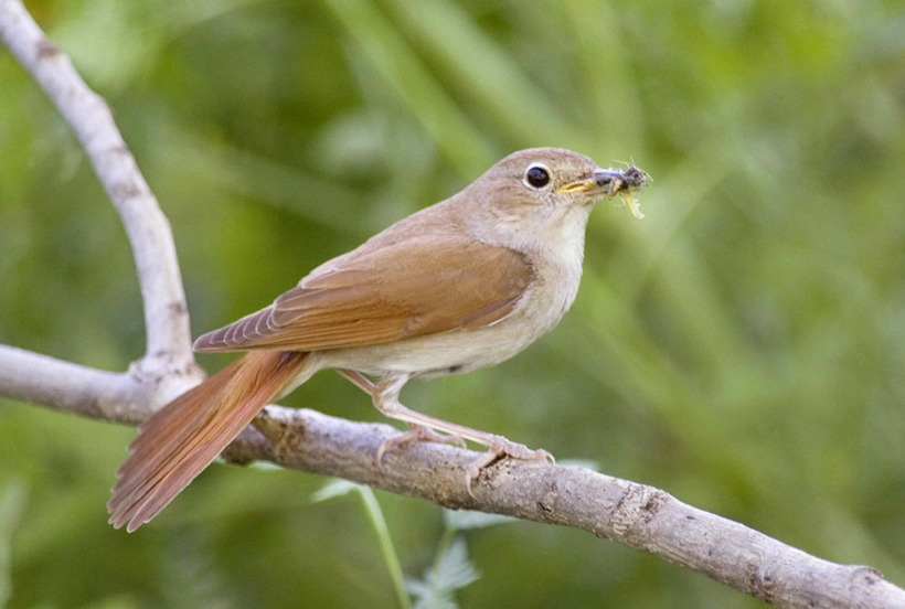 Common Nightingale Edmund Fellowes BTO.jpg
