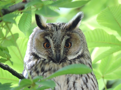 Long-Eared Owl.JPG
