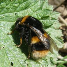 med-Bee (Bombus Terestris) Granitethorpe Sapcote SP 4944 9358 (taken 8.4.2010)..JPG