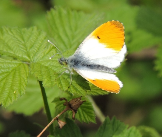 orange tip April 2018- john hansford.jpg