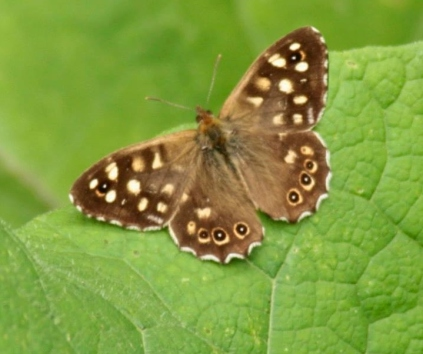 speckled wood.jpg