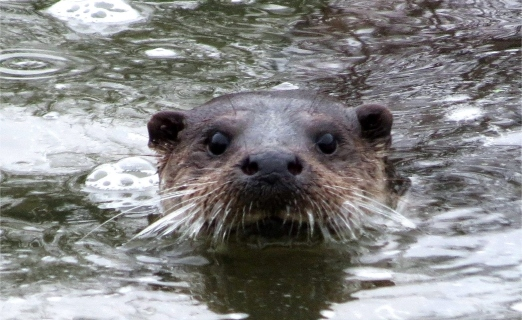 INQUISITIVE OTTER..jpg
