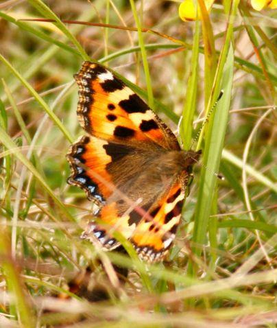tortoiseshell butterfly.jpg