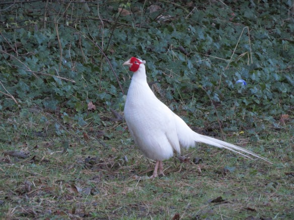 white pheasant.JPG