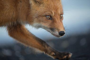 silversea-far-east-cruise-fox.jpg