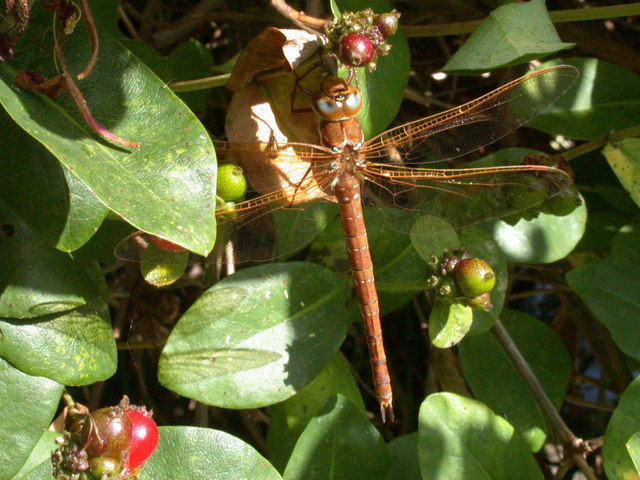 brown hawker.jpg