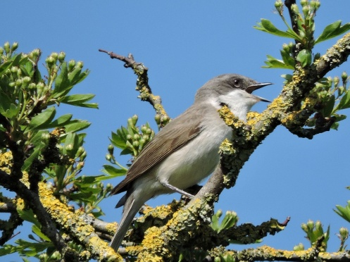 Lesser Whitethroat 2.JPG