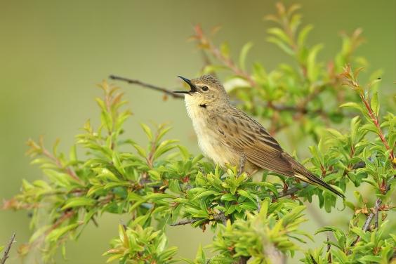 Grasshopper Warbler Tom Tams northumberland
