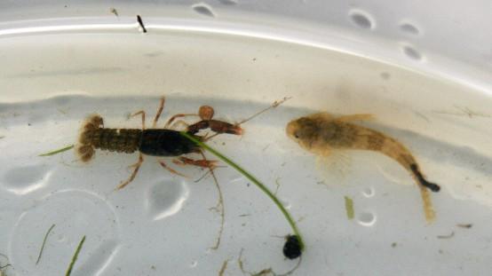 Crayfish Millers Thumb 2
