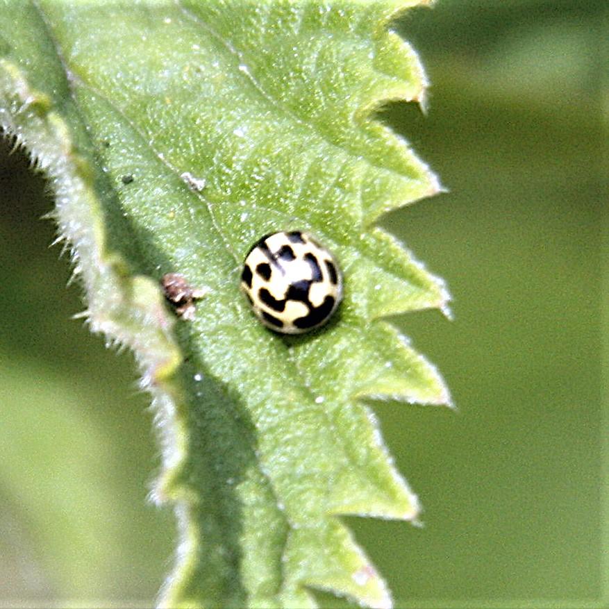 Ladybird 14 spot.jpg