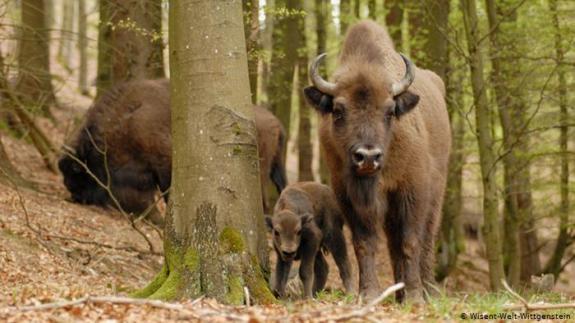 wild bison.jpg
